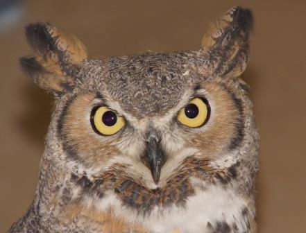 close-up of owl