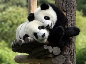 Pandas Movie
