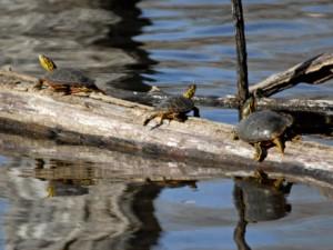 Richardson Turtles