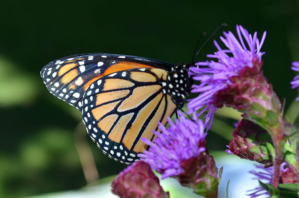 Monarch Butterfly on Purple Thistle