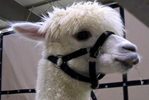 National Alpaca Days this weekend