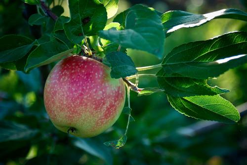Apple Pick'n Days at Deardorff Orchards