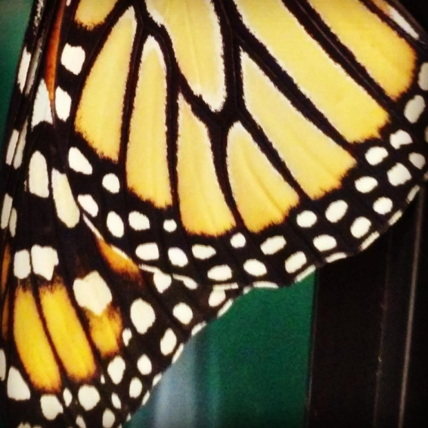 Monarch Butterfly Release Today