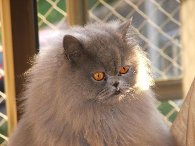 twin-city-cat-fanciers-show-today