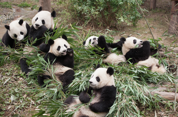 Baby Pandas Imax