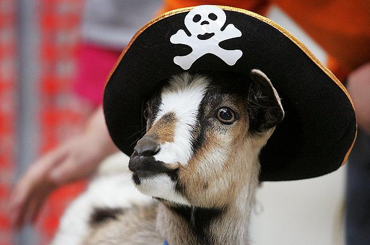 Goat in pirate costume