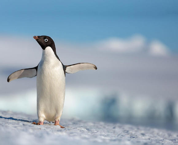 DisneyNature Penguin