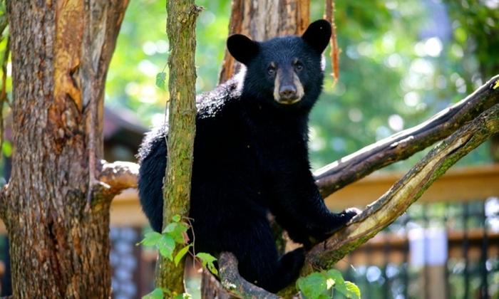bear at Vince Shute Wildlife Sanctuary in Orr Minnesota