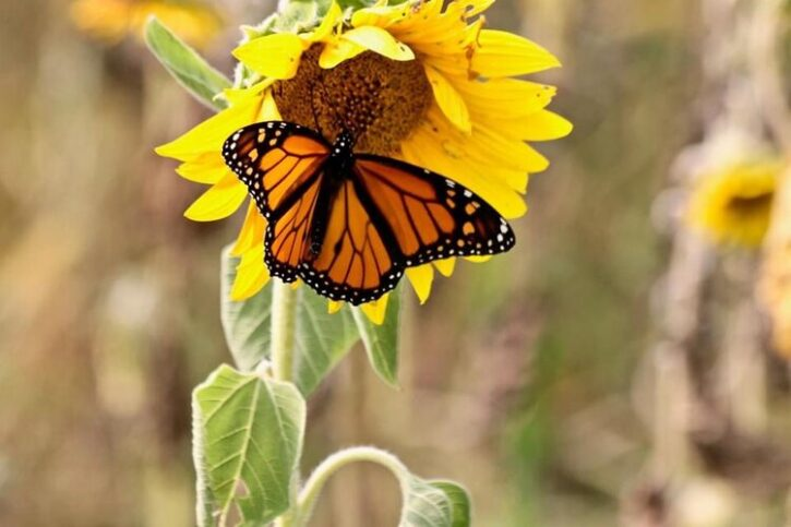 Monarch Butterfly on Sunflower at Fish Sunflowers Fields