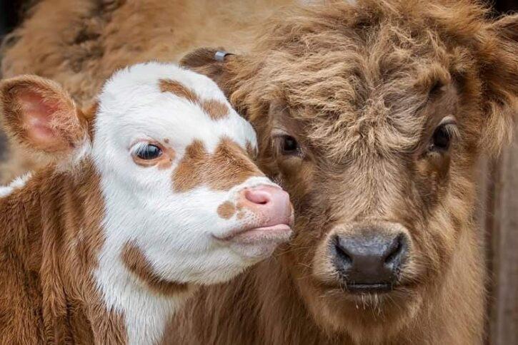 two barnyard animals at Farmyard Fun Fair