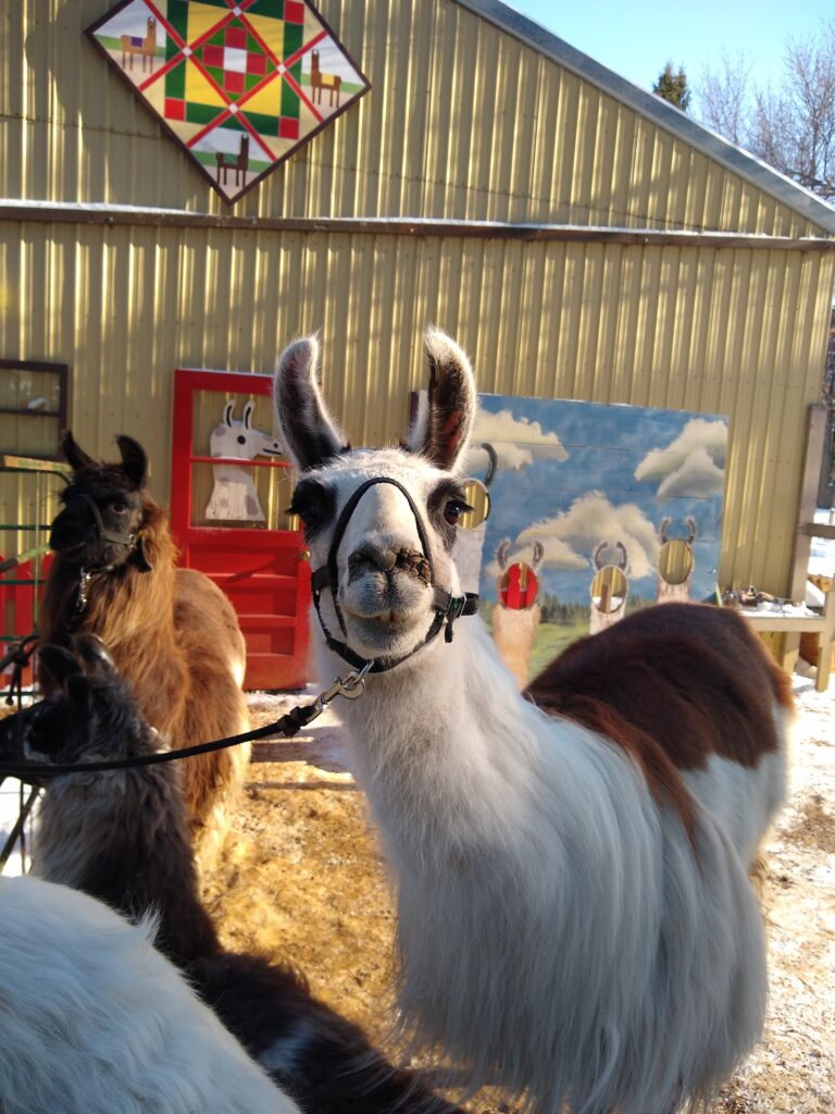 llama in front of barn
