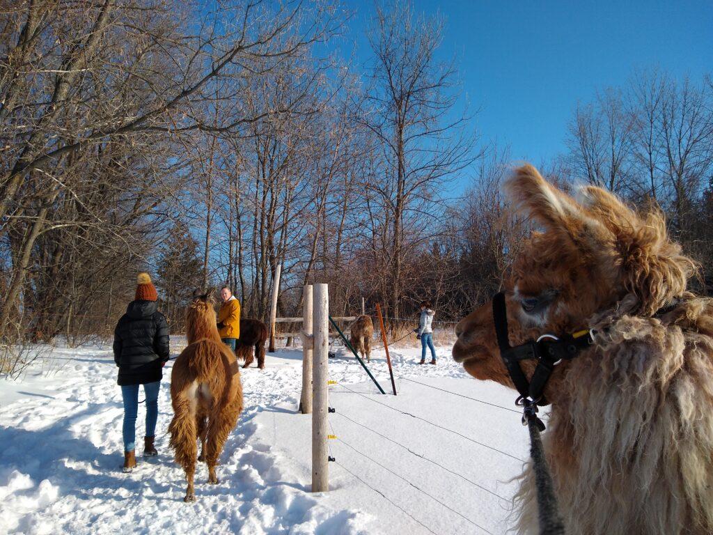 Carson's LLovable Llamas walking