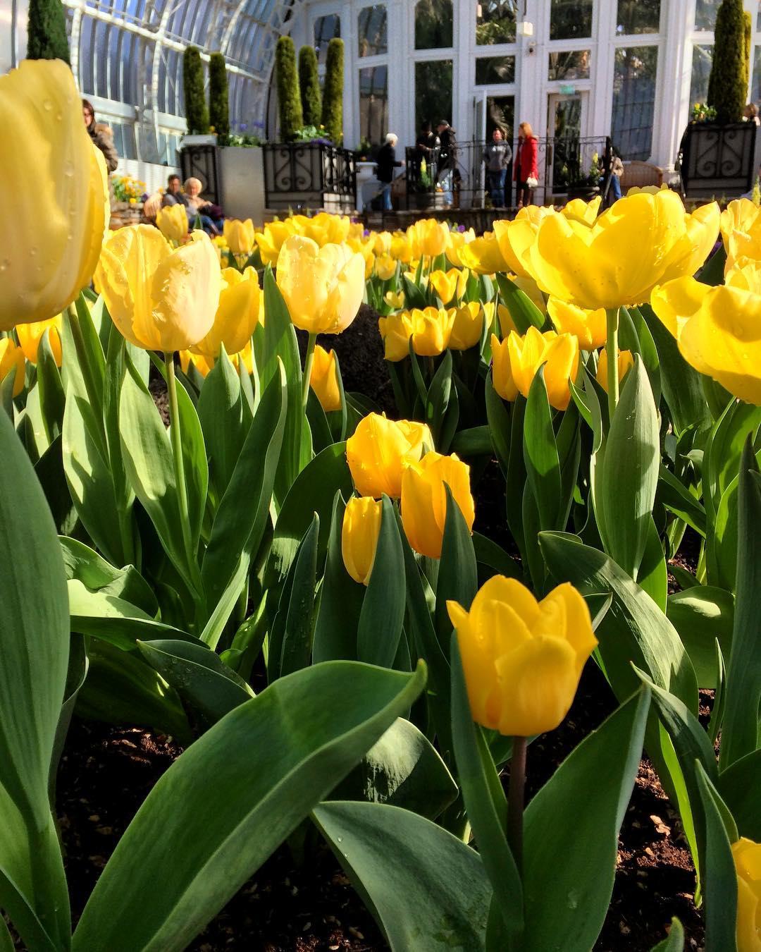 Como Spring Tulips