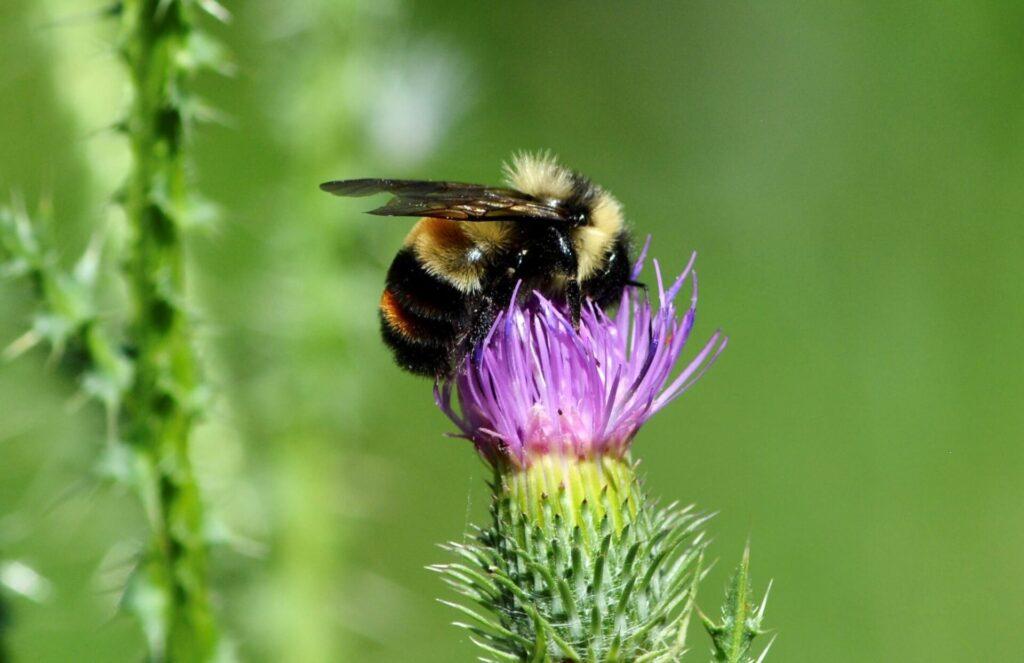Bee on Thistle Flower at Minnesota Valley National Wildlife Refuge