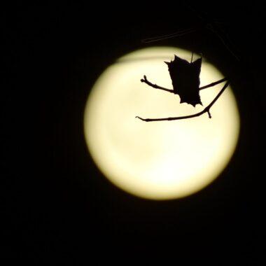 Halloween Bat in front of Moon